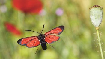Zygène de la filipendule rouge
