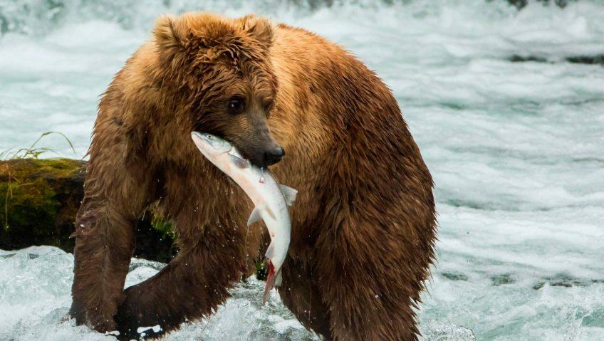 ours brun saumon rivière