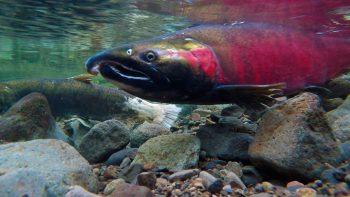 photo aquatique saumon
