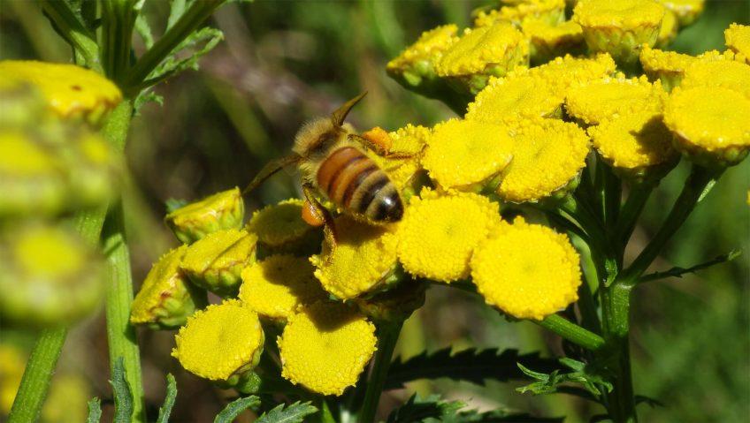 Abeille domestique fleur jaune
