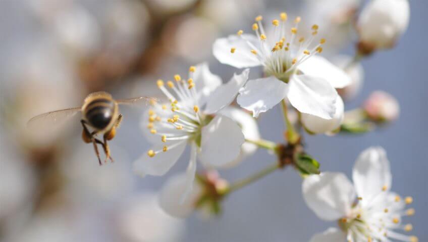 Abeille en vol fleur blanche