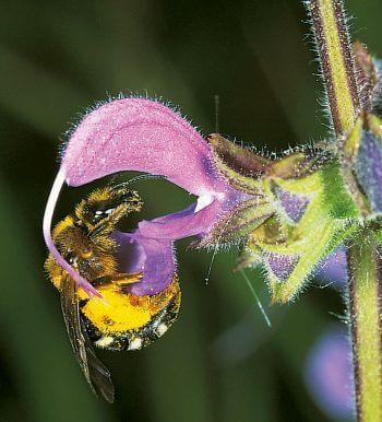 Abeille et sauge pollen