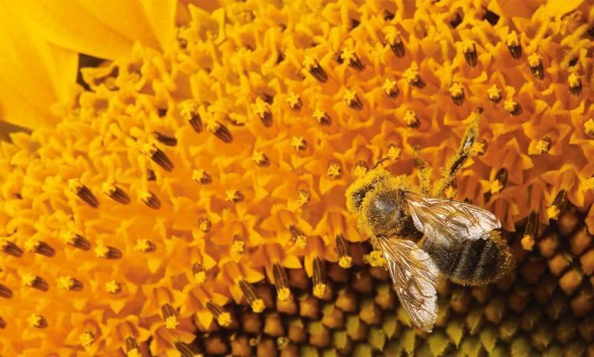 Abeille tournesol pollen