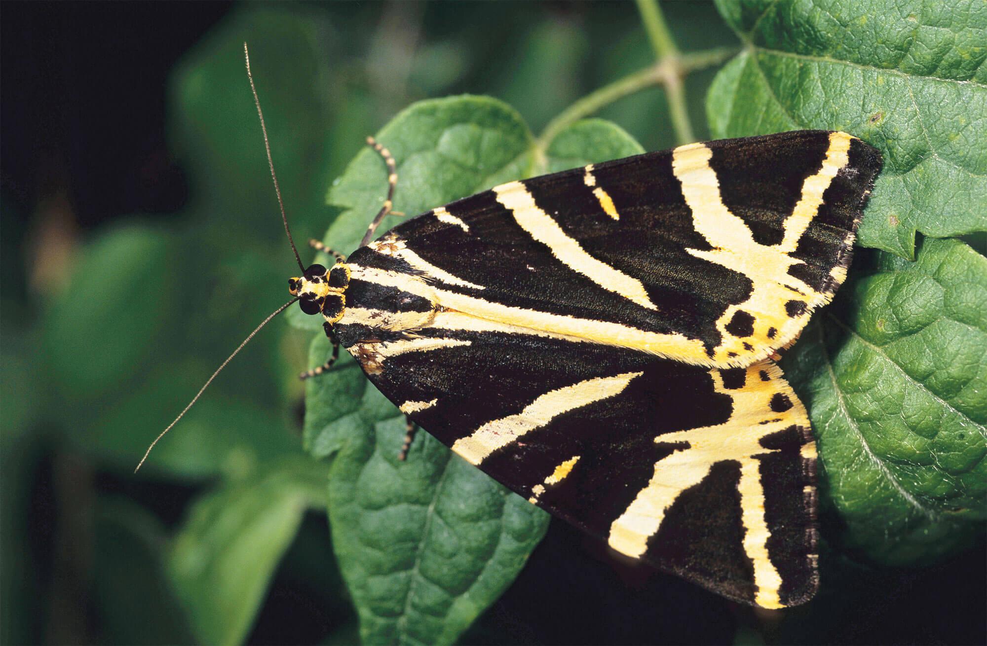 toxique papillon jaune noir