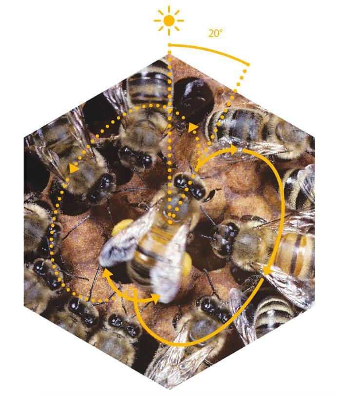 danse des abeilles schéma