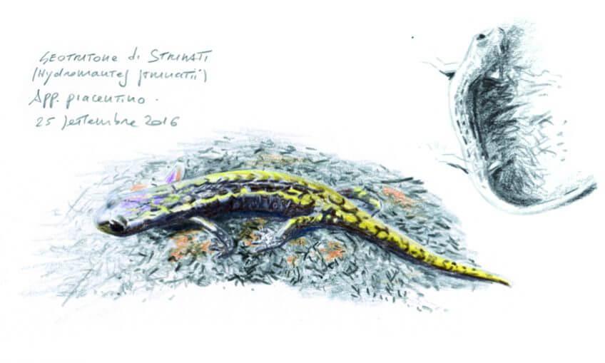 Amphibien spélèomante Ambrogio