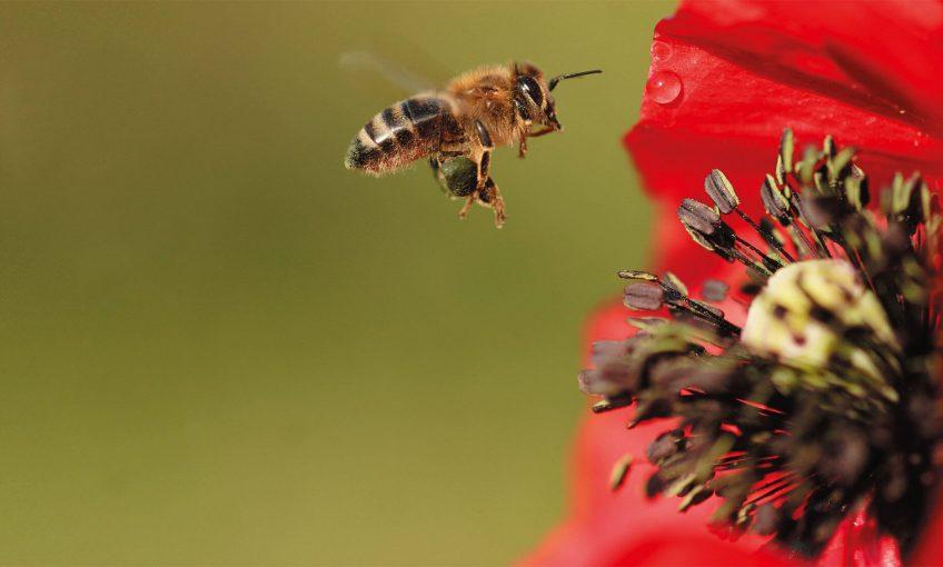 rouge abeille coquelicot