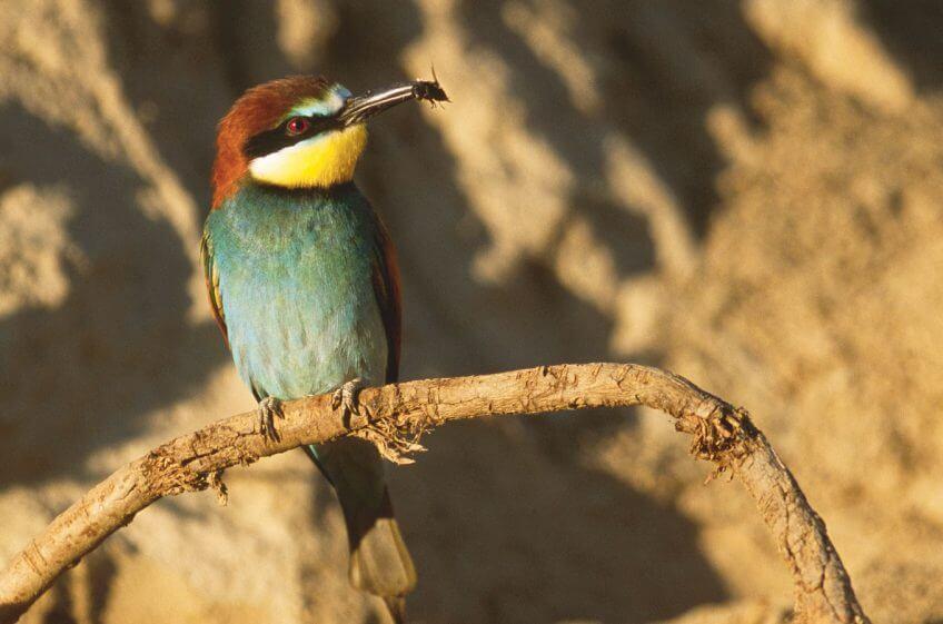Guêpier oiseau