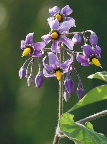 La douce-amère plante fleur
