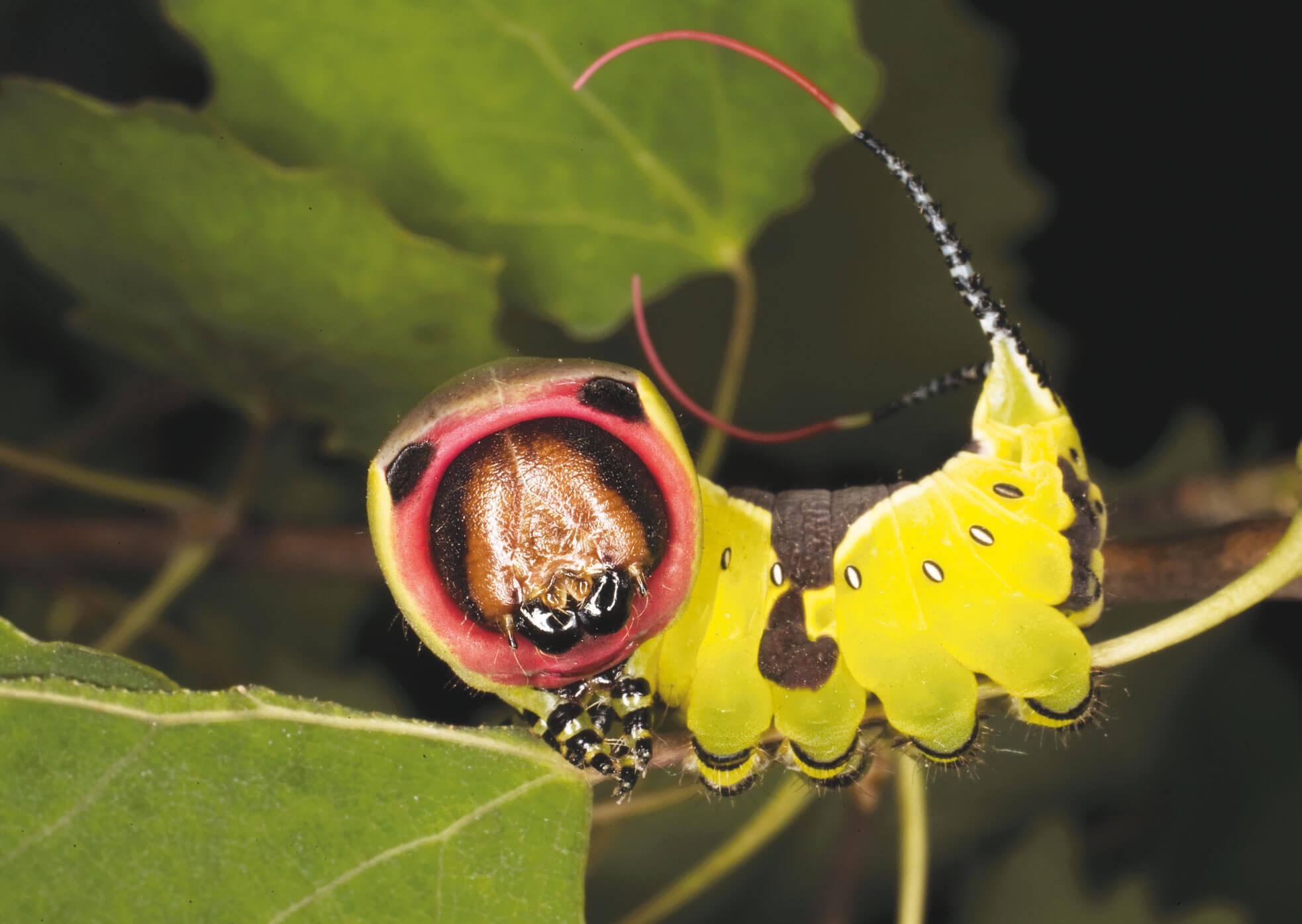 chenille papillon grande queue fourchue