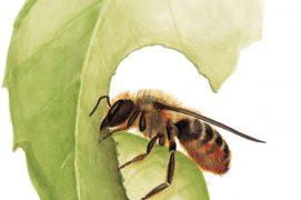 La mégachile, abeille coupeuse de feuilles / © Antoine Richard d'après Nicolas Vereecken