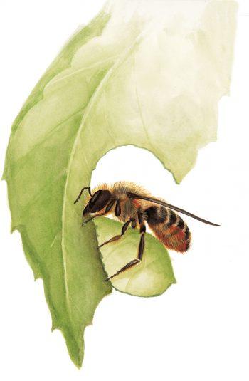 mégachile, abeille dessin