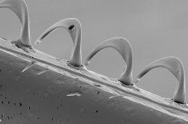 La rangée de crochets grâce auxquels les ailes postérieures s'accrochent aux antérieures pendant le vol, ce qui réduit les turbulences aériennes. / © Brigitte Wessicken
