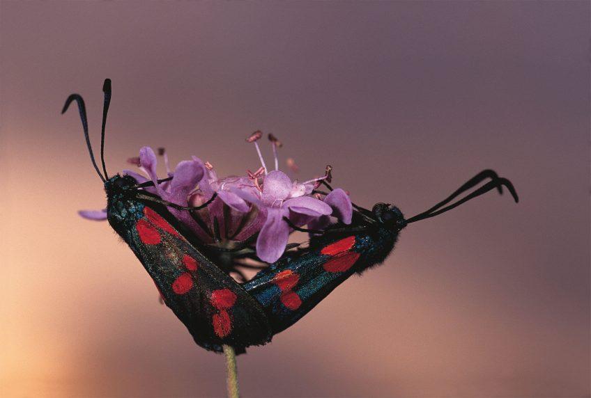 La zygène de la filipendule papillon