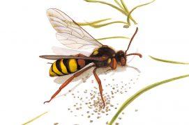L'abeille-coucou Nomada  / © Antoine Richard d'après Nicolas Vereecken