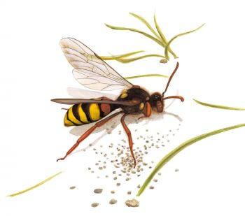 L'abeille-coucou Nomada dessin