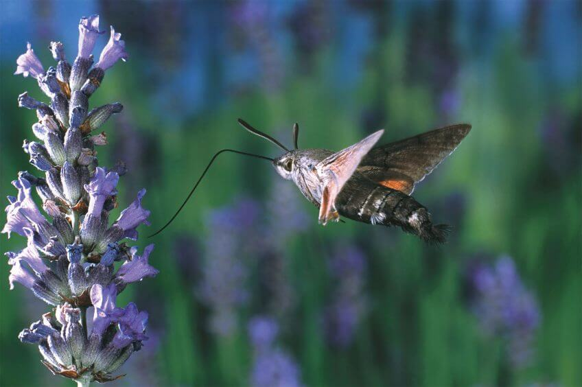 papillon Le morosphinx