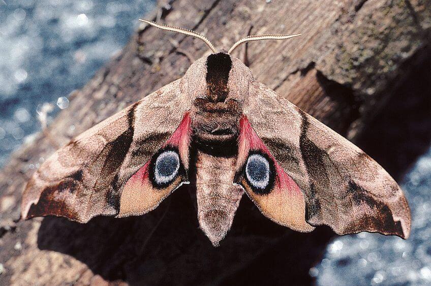 papillon sphinx demi-papillon oeil défense