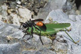 Les ancêtres des abeilles chassaient à la manière de cette guêpe ammophile, qui nourrit ses larves avec des proies paralysées. / © Jean-Claude Teyssier