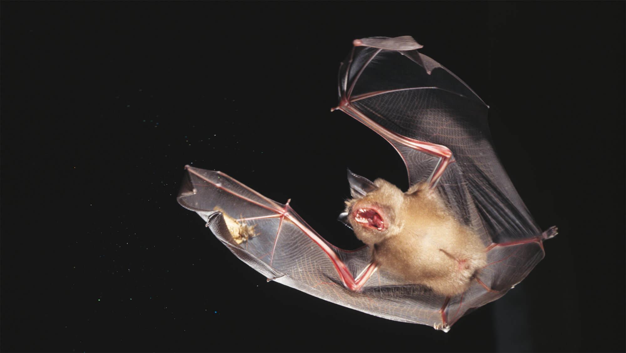 chauve-souris chasse nuit