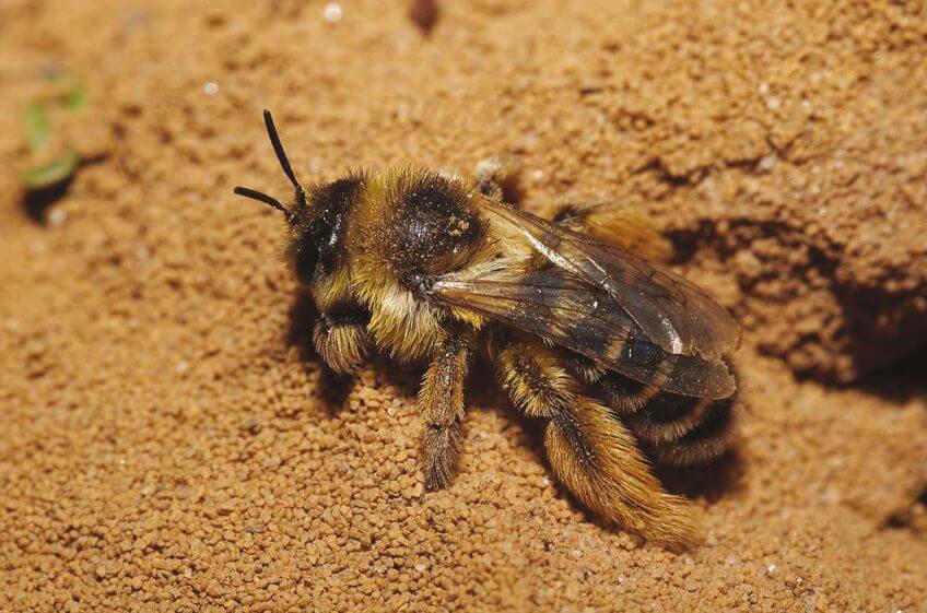 Dasypoda abeille sol terre