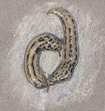 dessin nuit limace léopard couple