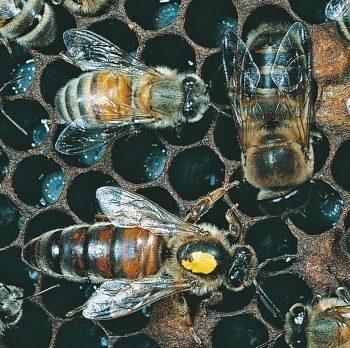 Ouvrière abeille reine faux-bourdons