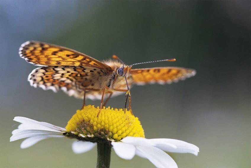 papillon marguerite