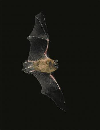 pipistrelle chauve-souris nuit