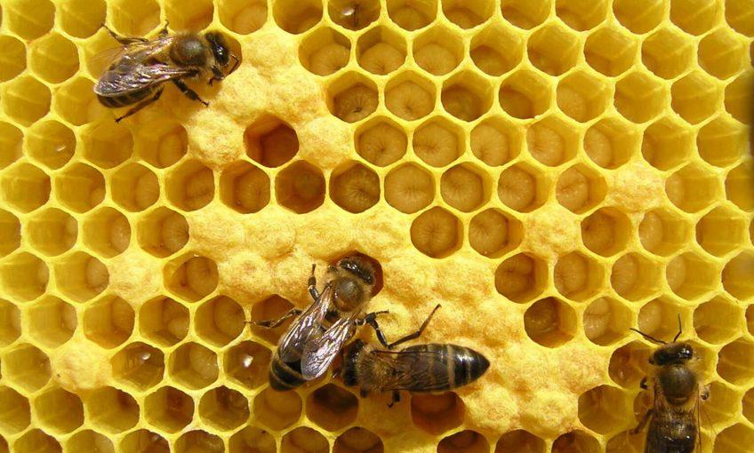 Pupes d'abeilles au fond de leur alvéole