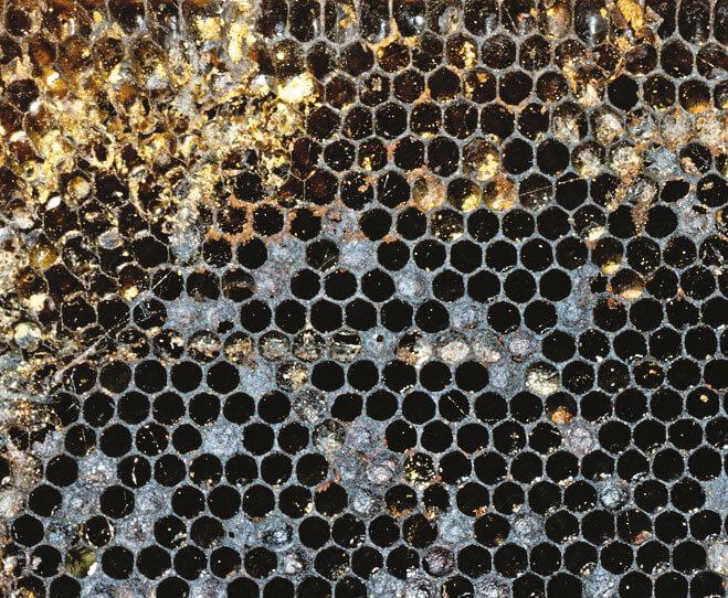 maladies abeilles ruche affaiblie