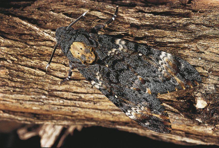 Sphinx tête-de-mort papillon nuit