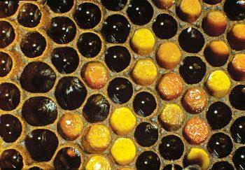 alvéoles, le miel