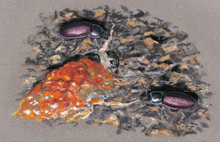 cadavres d'une limace orange en bouillie et d'un bousier écrasé carabes des jardins dessins nuit