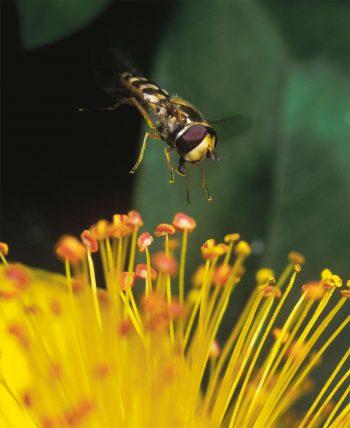 syrphe mouche guêpe fleur