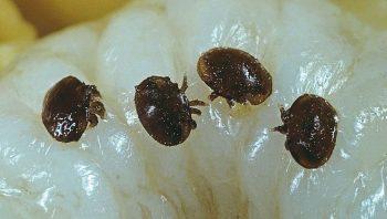 Trois acariens varroa abeille larve