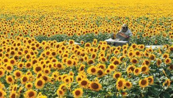 Une ruche au milieu d'un champ de tournesol apiculteur surproduction mono