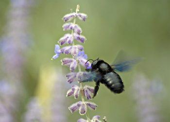 Xylocope lavande abeille charpentière