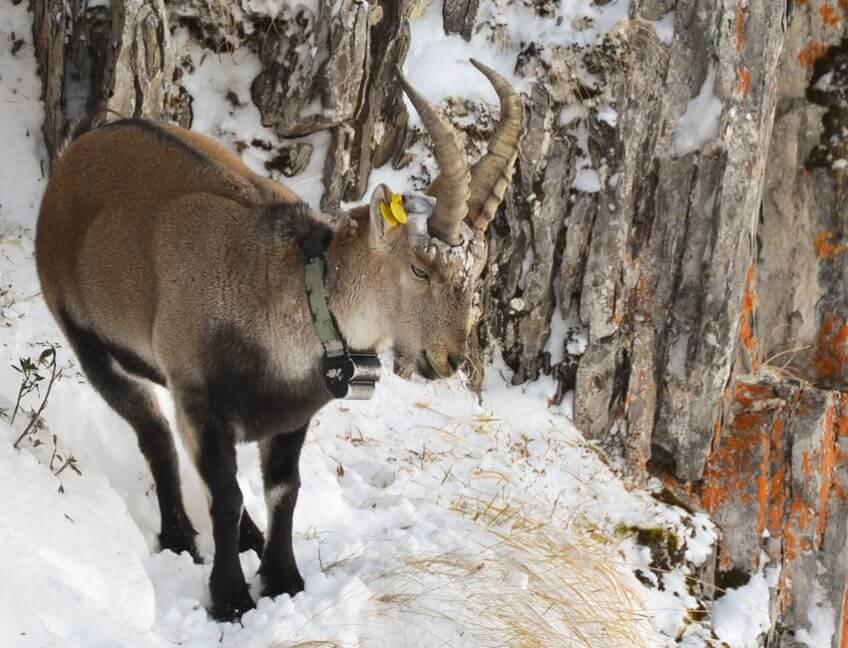 Le retour du bouquetin ibérique dans les Pyrénées