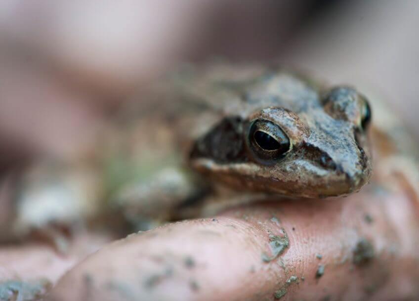 Le printemps des grenouilles agiles à Genève La Salamandre