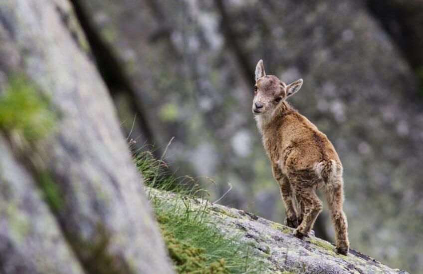 Le retour du bouquetin ibérique dans les Pyrénées - La Salamandre