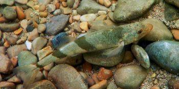 Balade au bord de la Loue - La Salamandre Apron du Rhône poisson