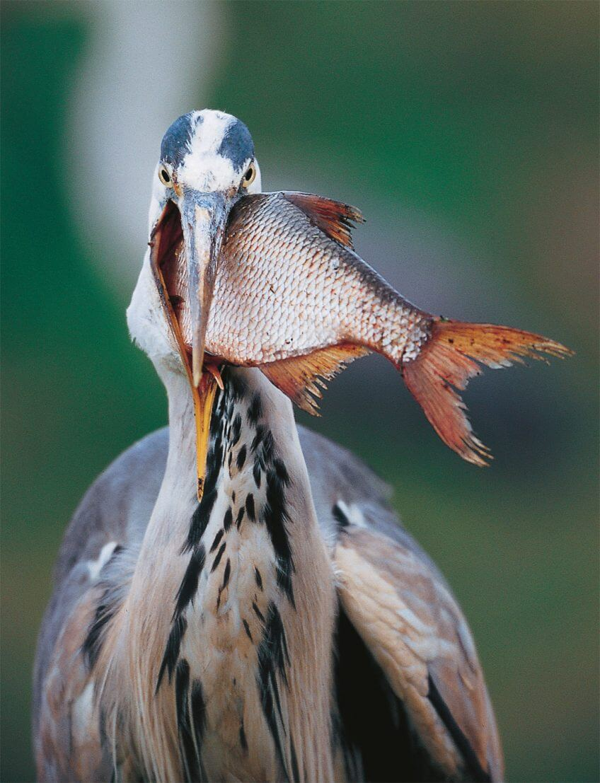 Le héron, pêcheur du crépuscule proie poisson brème