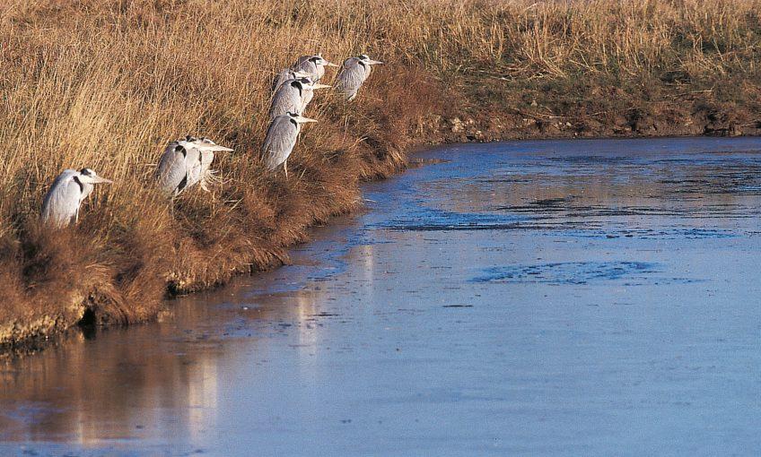 lac Les hérons, compagnons d'infortune hiver afrique