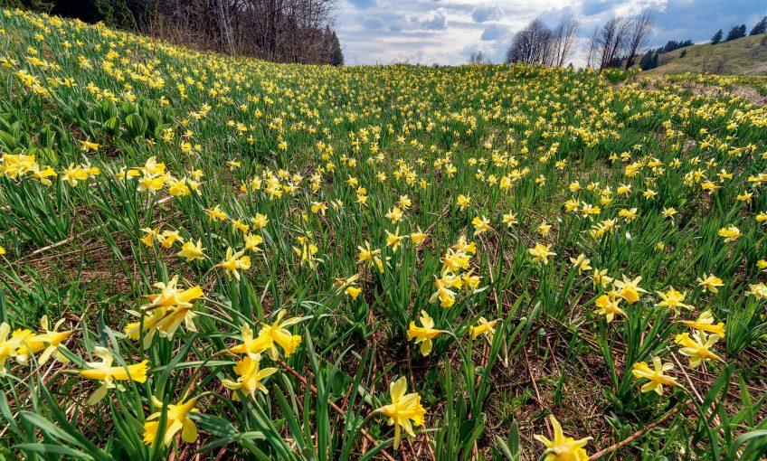 Pourquoi ne faut-il pas ramasser trop de jonquilles au printemps? - La Salamandre Champ de jonquilles fleur jaune
