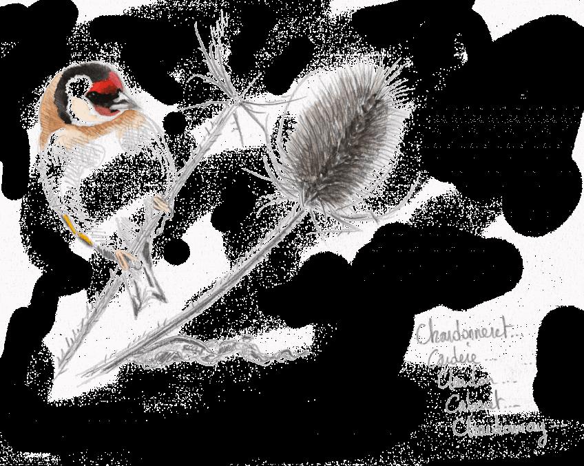 Bruants zizis et fous dans les vignes - La Salamandre dessin Chardonneret élégant sur chardon