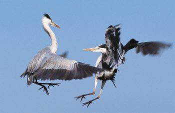 nid amour héron cendré couple parade vol querelles