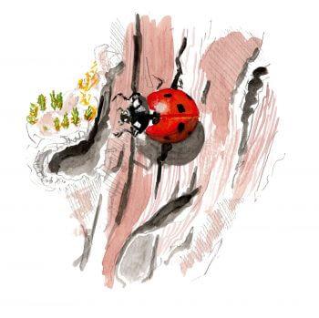 Bruants zizis et fous dans les vignes - La Salamandre Coccinelle dessin