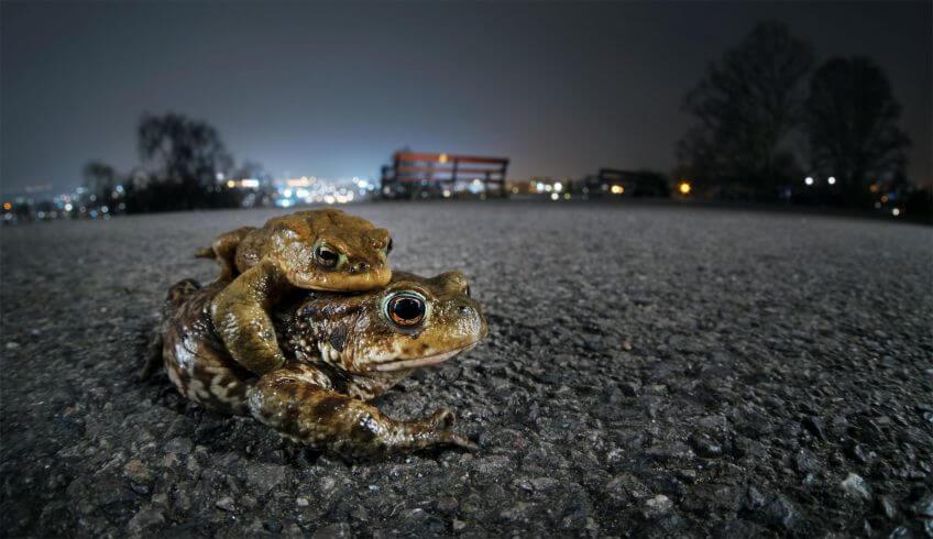 Déroute sur la route pour les grenouilles - La Salamandre Couple de crapauds communs route migration