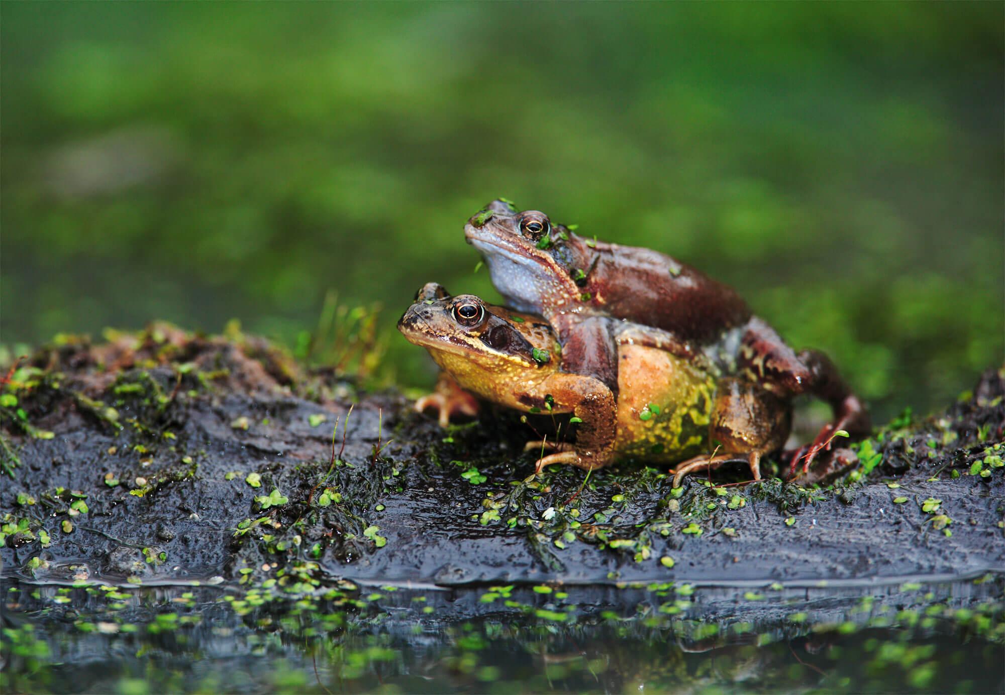 Déroute sur la route pour les grenouilles - La Salamandre mâles Couple de grenouilles rousses